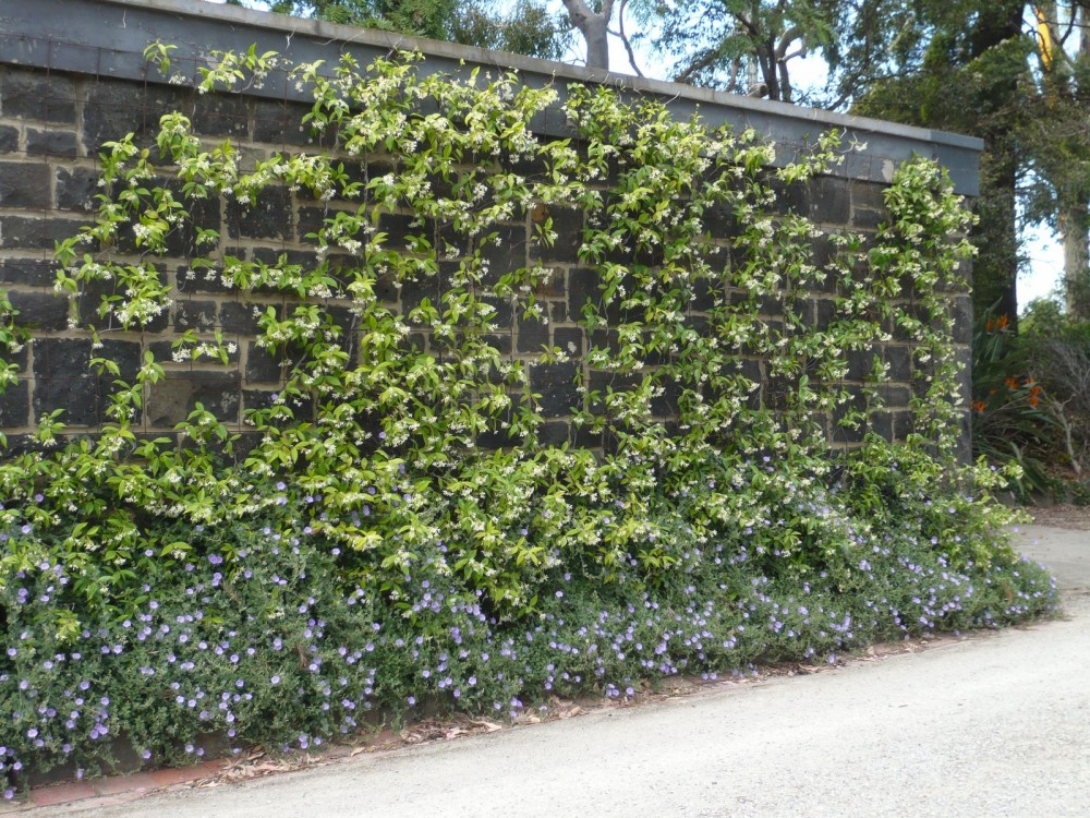 Star Jasmine To Cover The Retaining Wall Garden Pinterest