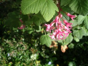 102 Flowering currant (Ribes)