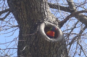 106 Rainbow Lorikeet in Elm October 2007