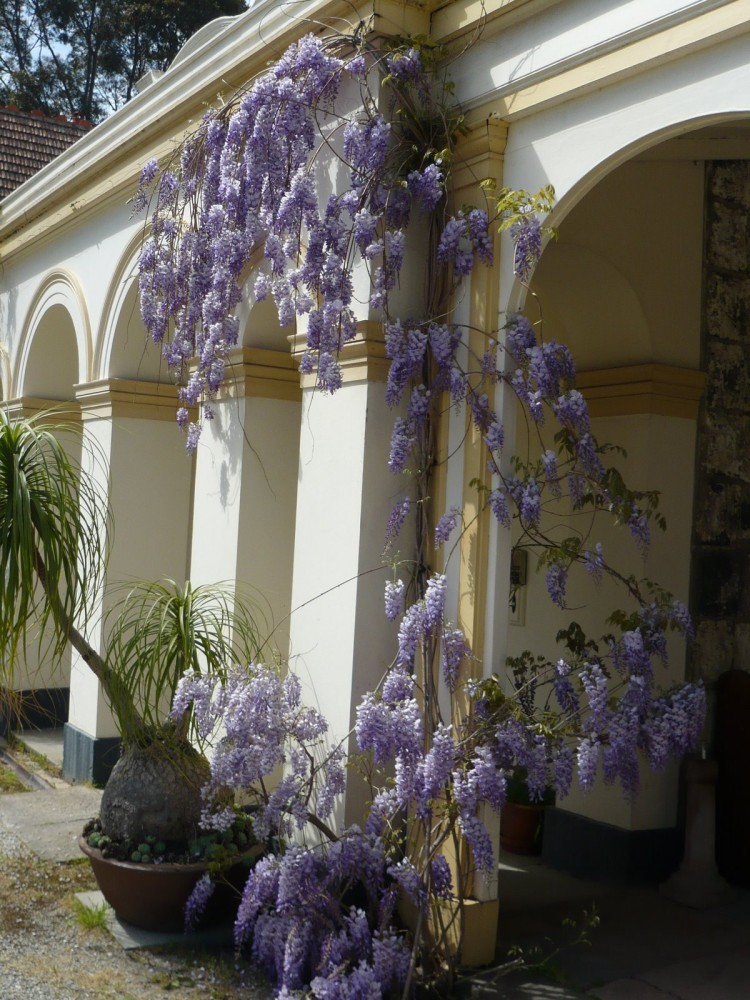 125 Wisteria in flower October 2008