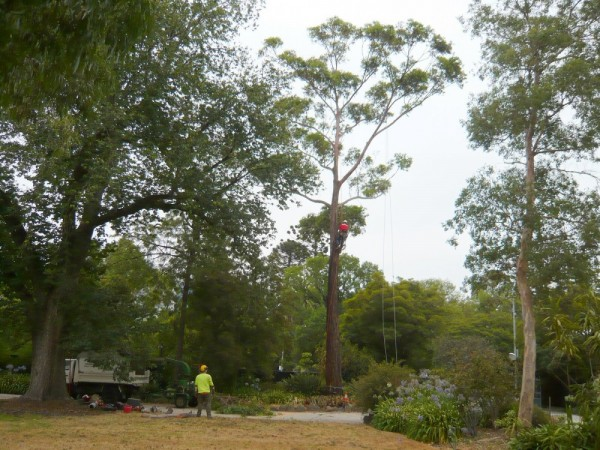 142 Removal of Mahogany Gum 4 February 2009